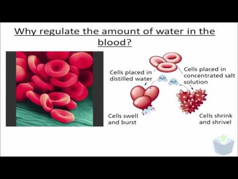 Homeostasis 5 - ADH (A-Level Biology)