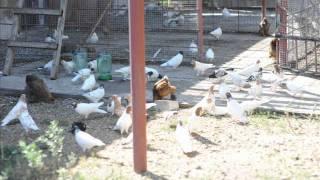 клип про голубей 2