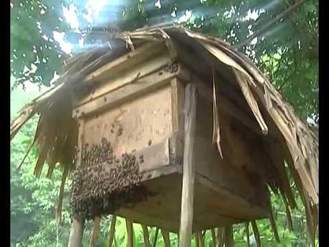 clip nuôi ong ý A-pis mellifera hay