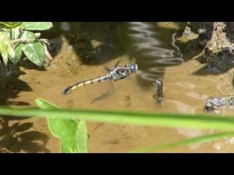 Great Blue Skimmer dragonfly (female, in flight, ovipositing), Ver. 4