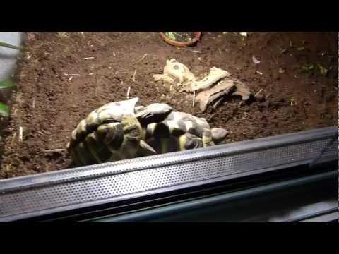 Schildkröten Paarung!!!! Mit Gestöhne!!!