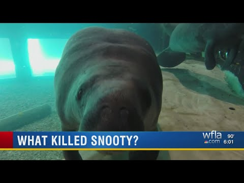 South Florida Museum staff explain tragic death of Snooty the manatee