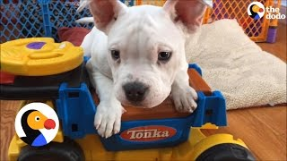Puppy With Deformed Elbows Finds A Foster Home | The Dodo