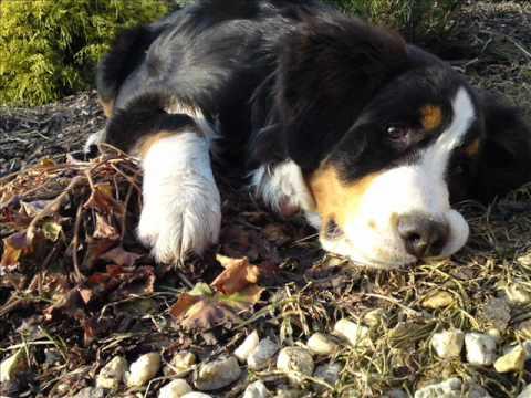 Bernský salašnický pes - první rok života