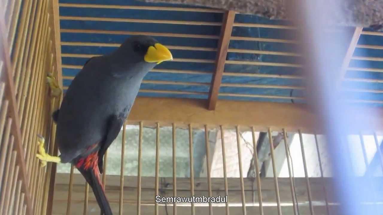 Jalak Rio Bird Grosbeak Starling Scissirostrum Dubium Youtube