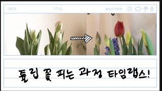 튤립 구근 수경재배 타임랩스 | 튤립 꽃 피는 과정은 …