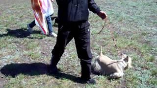 Породистые собаки в Магнитогорске