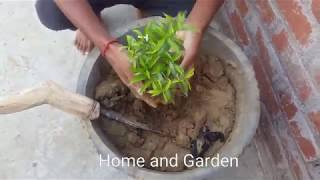 How To Grow Chandni Plant in Home | Tagar Ka Phool Kaise Lagaye