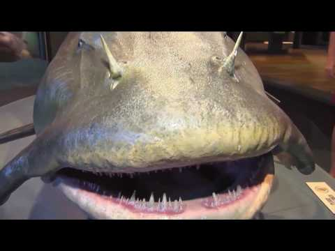 Featured Creature: Monster Fish: Goonch Catfish
