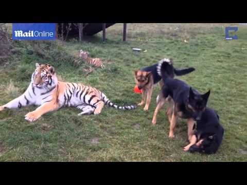 Check Out these German Shepherds and Siberian Tigers Playing