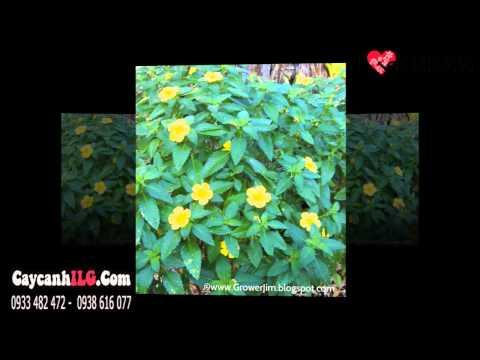 Hình Ảnh Cây Hoa Dừa Vàng