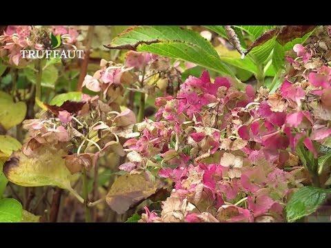 L 39 entretien de l 39 hortensia jardinerie truffaut tv doovi - Comment planter un hortensia ...