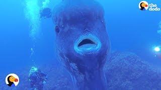 ゆったりまったり泳いでいるよ。不思議なお魚、マンボウについてのあれこれを調べてみた