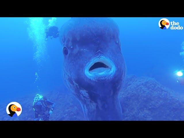 Ocean Sunfish Look Like GIANT Floating Heads | The Dodo
