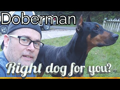 Adopting a Doberman Pinscher - The Right Dog for Me?