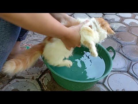 Detail baca deskripsinya ya guys. dan share jika bermanfaat. salam miauw. Biaya dan cara merawat kucing persia untum pemula..