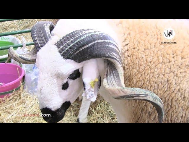 """صاحب أكبر خروف في الملتقـي الدولي للفلاحة بمكناس: """"ما نبيعوش واخا يعطيوني 20 مليون"""""""