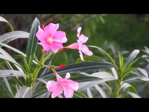 Nature Flower Title Video Background HD 1080p