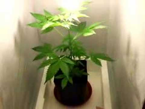 skunk 11 indoor grow weed hanf anf ngergrow youtube. Black Bedroom Furniture Sets. Home Design Ideas