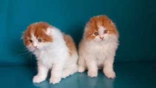 Шотландские котята.Хайленд-фолд.