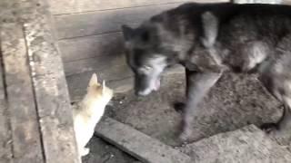 Западно-сибирская лайка работает по волку, Канадский волк, северный волк, охотничья собака