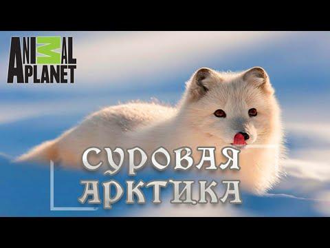 Суровая Арктика - Ледяная пустыня. Мир природы, дикие животные. #Документальный фильм. Animal Planet - Видео онлайн