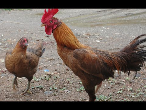 how to get a rooster to stop crowing