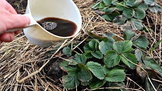 Подкормите этим клубнику в марте сразу после схода снега для невероятного урожая ягод!