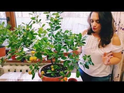 Каламондин или цитрофортунелла - домашний мандарин: особенности ухода зимой