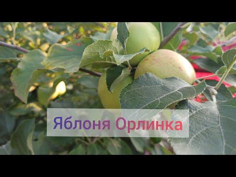 Вопрос: Яблоня Серебряное копытце, какие характеристики сорта?