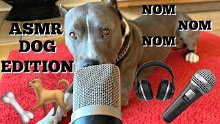 Dog Tries ASMR (Eating, Scratching, Walking, & More)   The Blue Nose Pit Bull