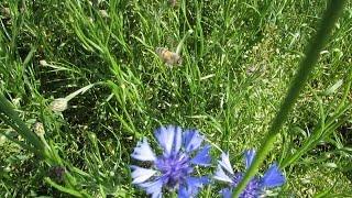 Кочевка пчел на василек синий полевой  Migrations bee on cornflower blue field