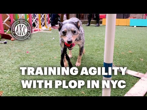 Training Agility With Plop In Manhattan Backyard