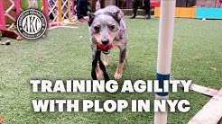 Training Agility with Plop in Manhattan Backyard