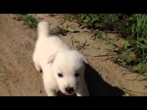 풍산개 강아지 울음 Poongsan Dog Crying