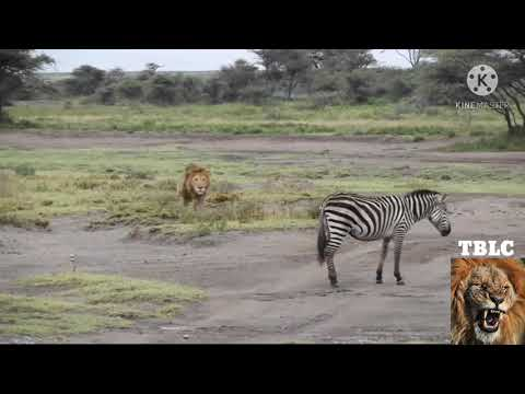 Male lions hunting alone compilation | The Ultimate Killers | Re-upload.