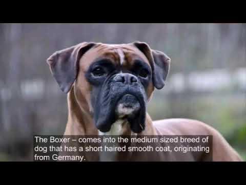 Boxer Dog Fact & Size