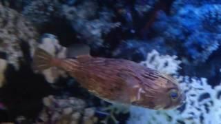 Рыба-еж короткошипый.
