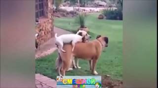 Веселое спаривание собак