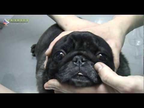 Ветеринария - Первые признаки болезни глаз собак и кошек