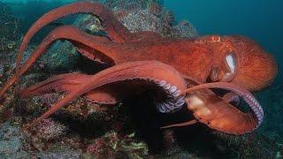 Гигантский осьминог - Giant Pacific Octopus (Энциклопедия животных)