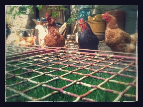 How to make/grow free organic chicken feed? Organic farming methods