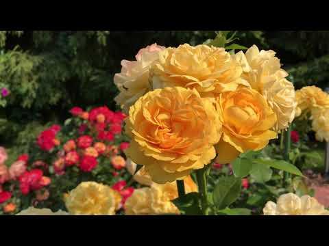 Розы в саду! Чем подкормить молодые  саженцы роз.