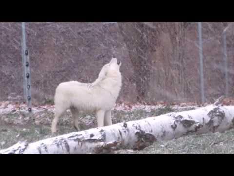 Vytí vlků - vlk arktický v zimní ZOO Tábor