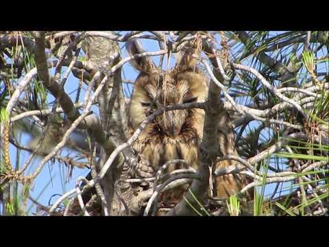 Long-eared Owl (Asio otus) Νανόμπουφος - Αρκόθουπος - Cyprus