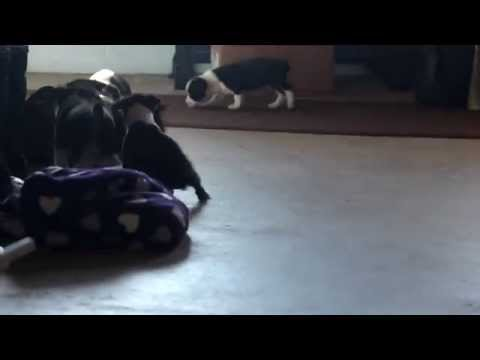 Boston Terrier mix Puppies For Sale