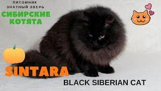 Наша красотка подросла, черная сибирская кошка - Синтара или Чуня по-домашнему