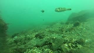 海釣り公園、泳がせ釣り水中映像2019年3月下旬 thumbnail