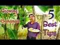 Growing Bananas : 5 Best Tips you Must Follow.