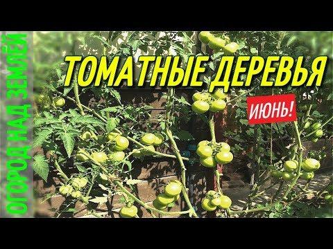 ТОМАТНЫЕ ДЕРЕВЬЯ-ОТЛИЧНЫЙ РЕЗУЛЬТАТ/ИЮНЬ-2018.
